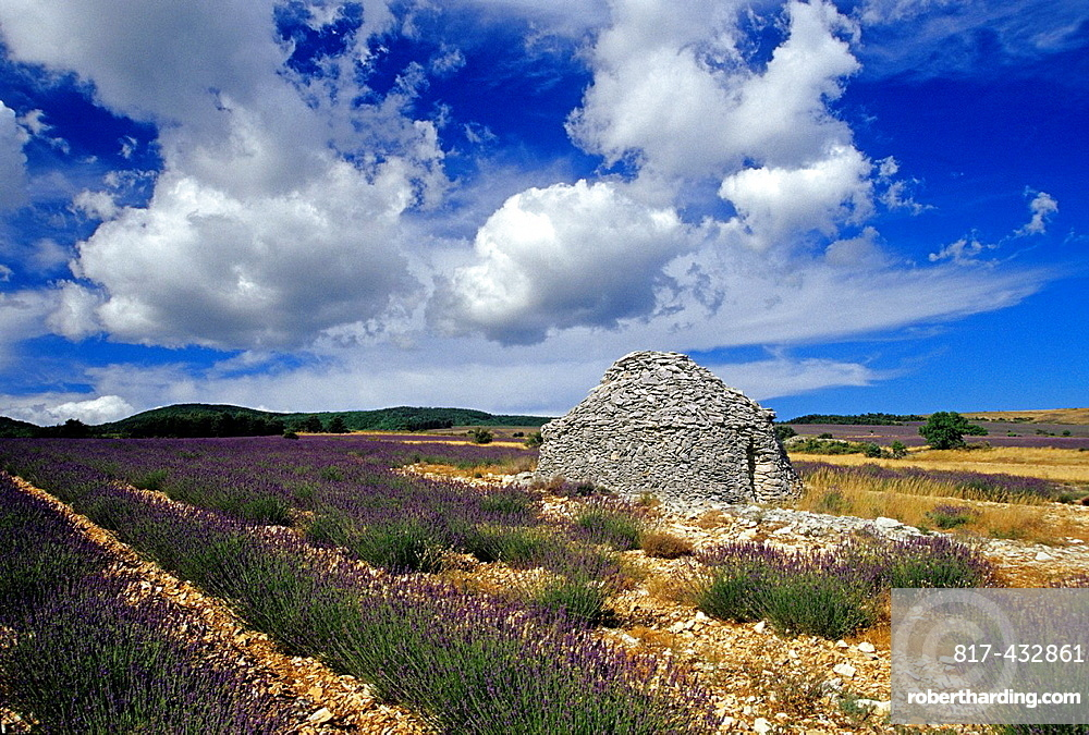 dry stone hut called borie in a lavender field, Drome department, region of Rhone-Alpes, France, Europe