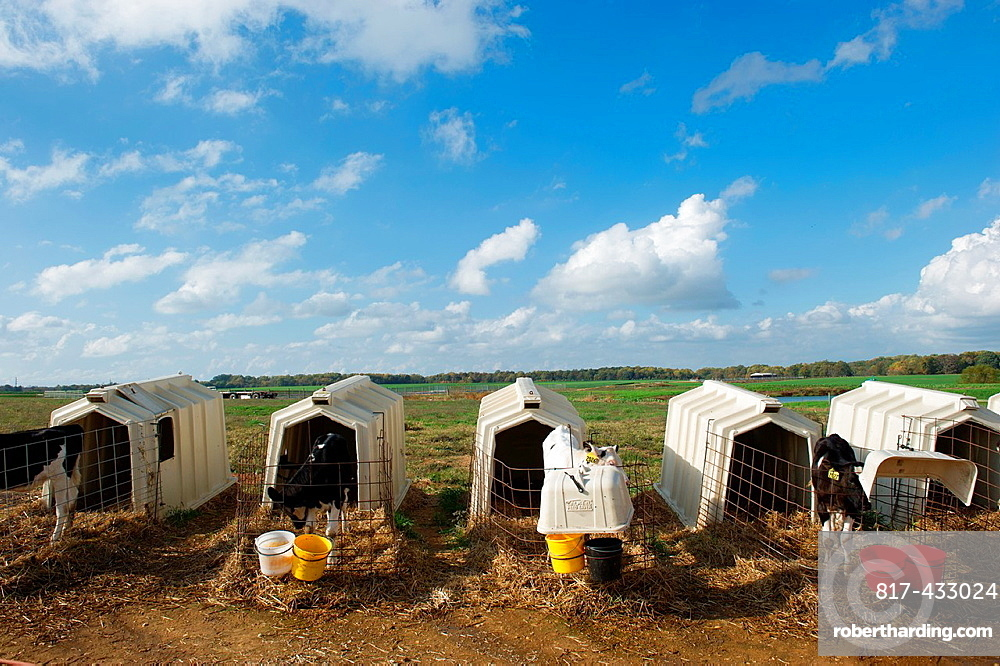 Calf pens on a dairy farm, Chestertown Maryland USA