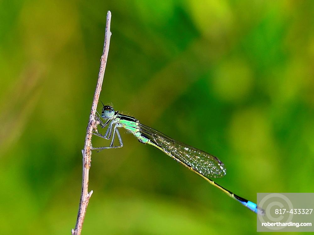 Young male Blue-tailed Damselfly, Ischnura elegans, Crete