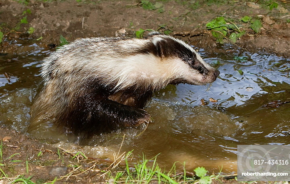 European Badger Meles Meles In Normandy