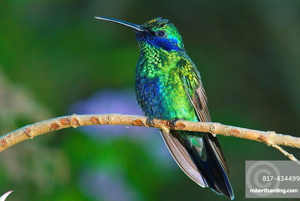 Sparkling violetear hummingbird Colibri coruscans perched in the rain forest of northern Venezuela