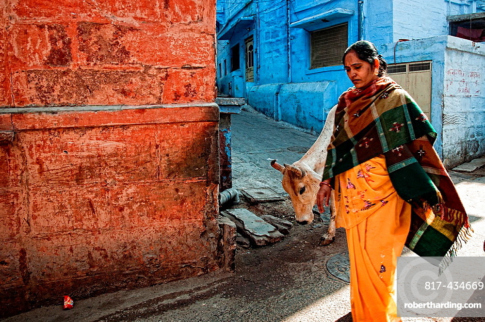 Woman passing by an alley while cow is eating Jodhpur, Rajasthan, India