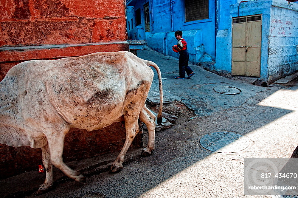 Cow and child passing by an alley Jodhpur, Rajasthan India