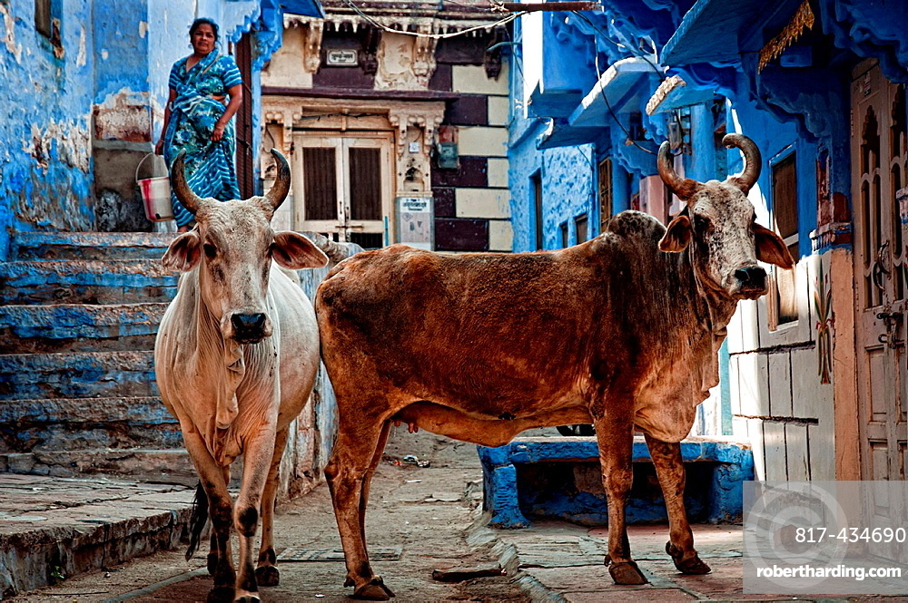 Cows gazing in an alley Jodhpur, Rajasthan, India