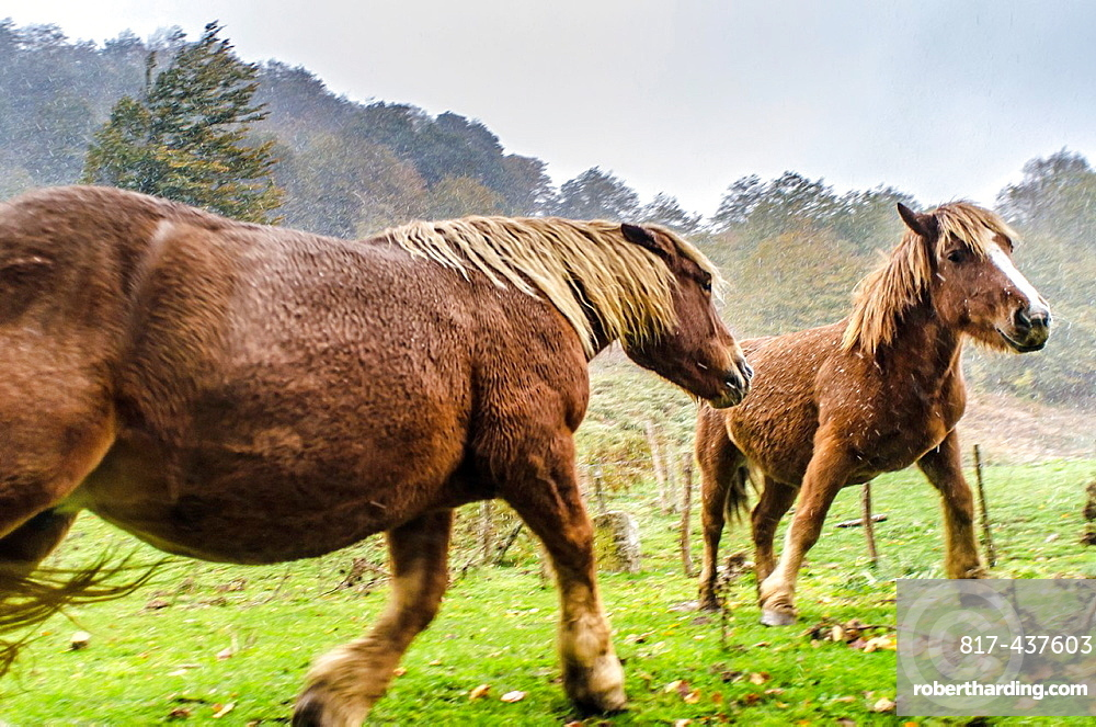 Horses at Sorogain forest in Erro Valley, Navarre, Spain