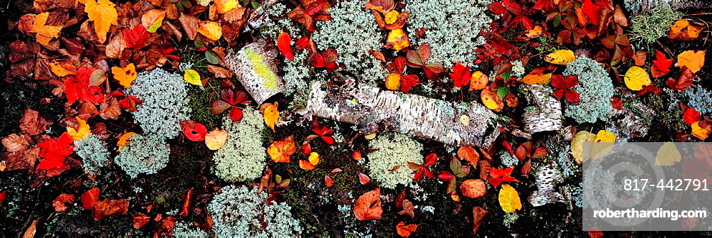 A complex patchwork of fallen leaves and decaying branches is composed into a study of color, texture and form in this view of a forest floor within Minnesota's North Woods.