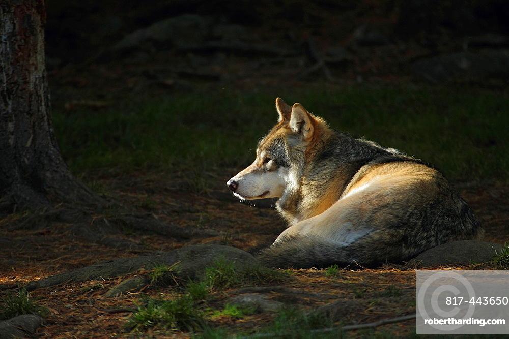 Wolf, Canis lupus, Halsingland, Sweden.