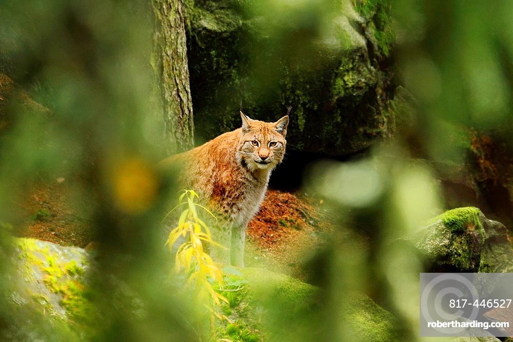 Lynx, Halsingland, Sweden.