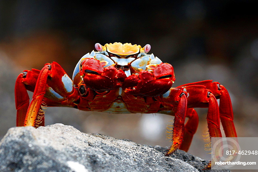 Sally Lightfoot Crab (Grapsus grapsus) standing on a lava rock, North Seymour Island Galapagos Ecuador.