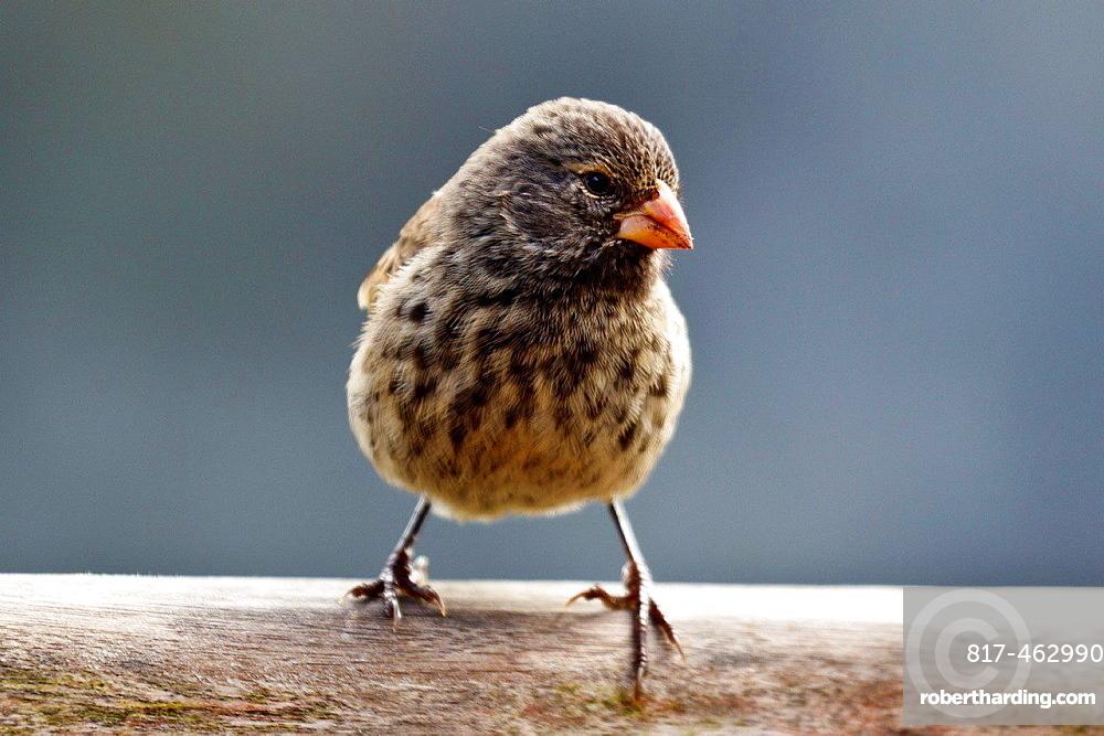 Female Small Ground-Finch (Geospiza fuliginosa), Galapagos Islands National Park, Santa Cruz Island, Galapagos, Ecuador.