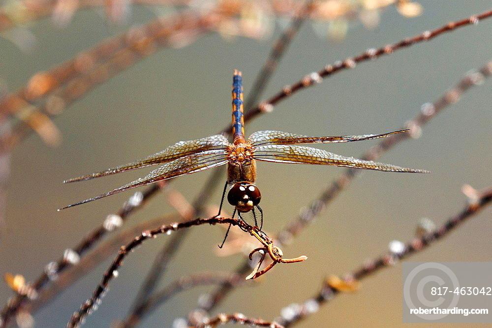 Detailed view of a dragonfly, Galapagos Islands National Park, Isabela Island, Galapagos, Ecuador.