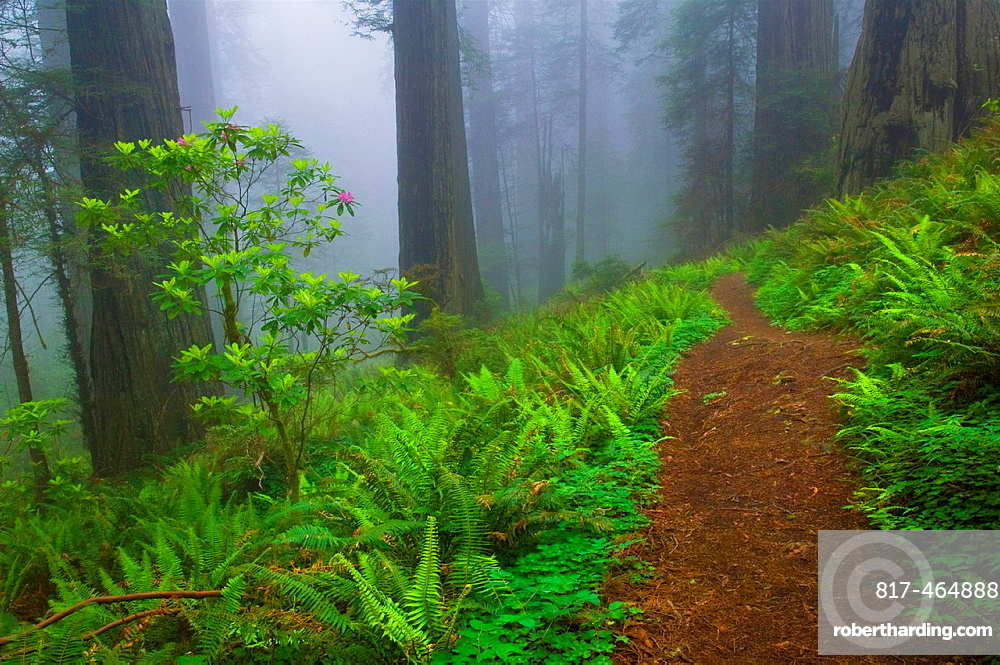 Trail through fog shrouded redwood trees in forest, Del Norte Coast Redwood State Park, California.