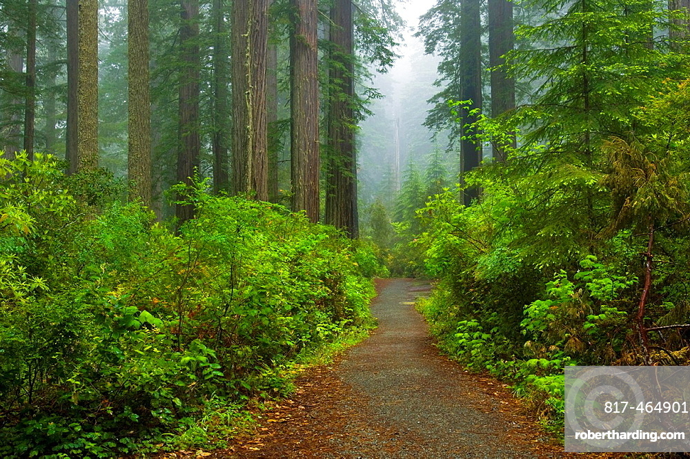 Trail through Redwood trees and forest in the fog and rain, Lady Bird Johnson Grove, Redwood National Park, California.
