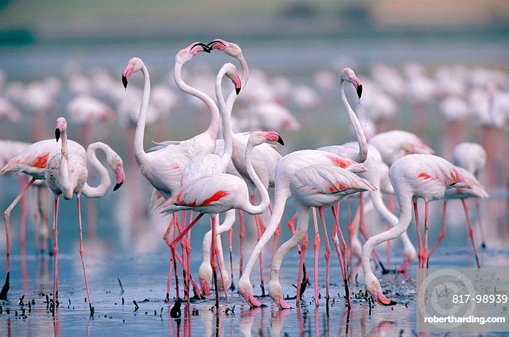 Greater Flamingo (Phoenicopterus ruber), Laguna de Fuentedepiedra, Malaga province, Andalusia, Spain.