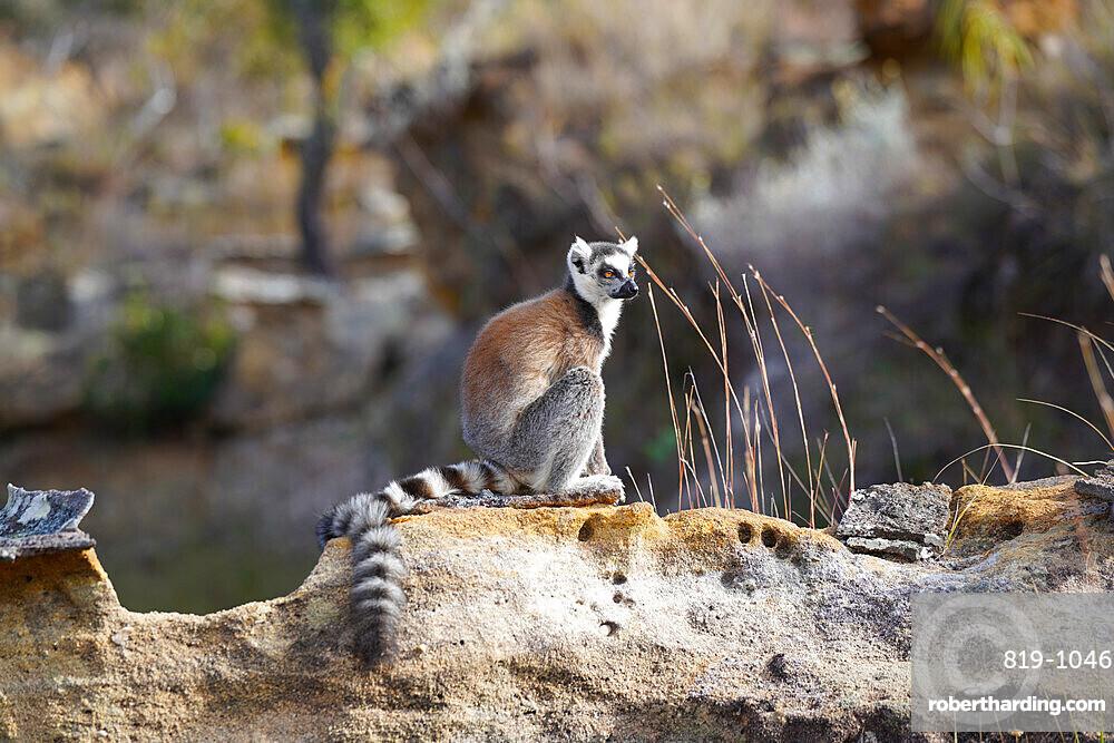 Ring-tailed lemur, Lemur catta, Isalo National Park, Fianarantsoa province, Ihorombe Region, Southern Madagascar