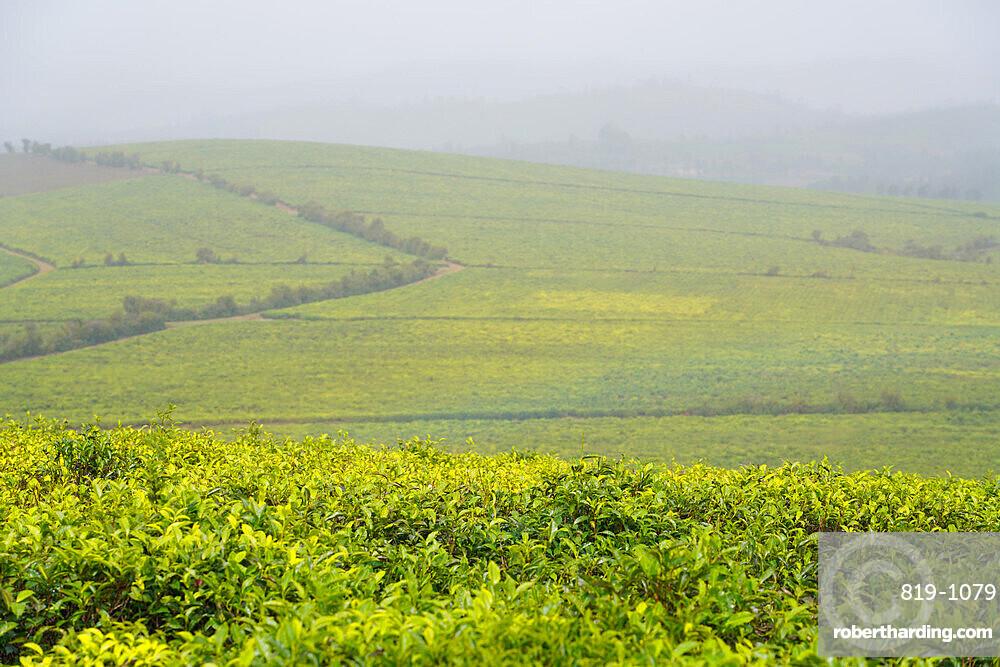 Sahambavy tea plantation, Fianarantsoa province, Ihorombe Region, Southern Madagascar