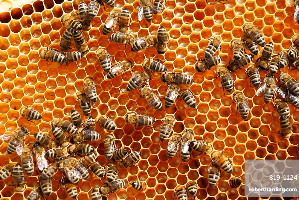 Carniolan honey bees, Santa Giustina, Belluno, Italy, Europe