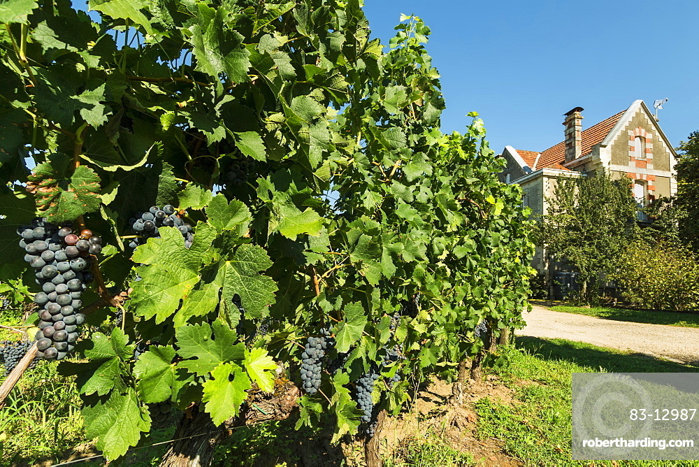 Grand Cru vines of Chateau Cantenac near this historic town and famous Bordeaux red wine region, Saint Emilion, Gironde, France, Europe
