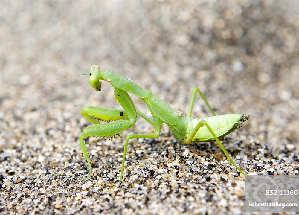 Praying Mantis (Mantis religiosa) on beach sand, Lombok Island, Lesser Sunda Islands, Indonesia
