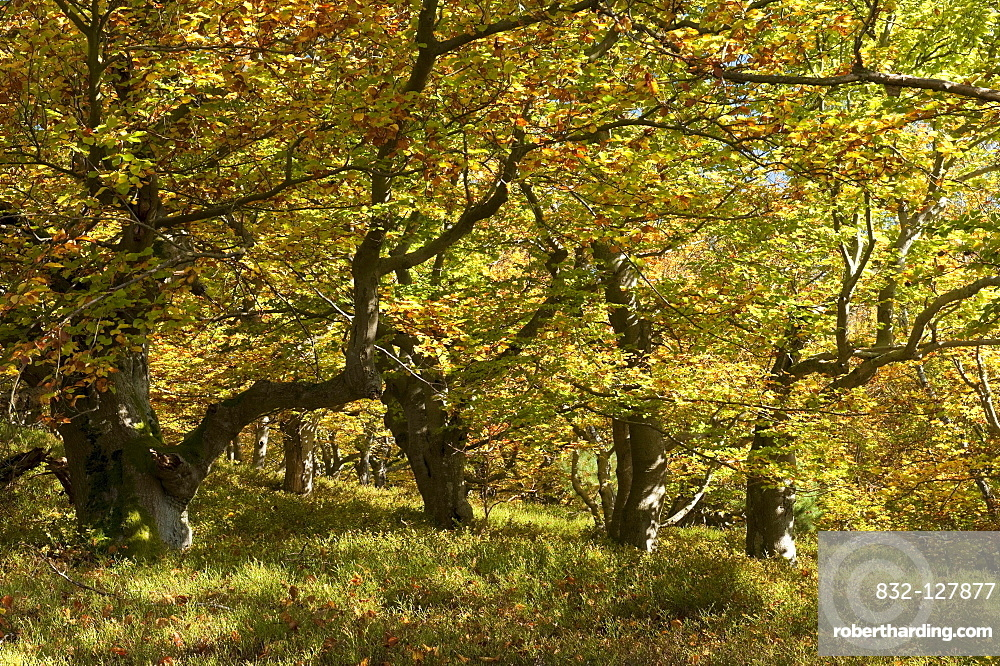 Beech trees (Fagus sylvatica) in a woodland pasture, Germany, Europe