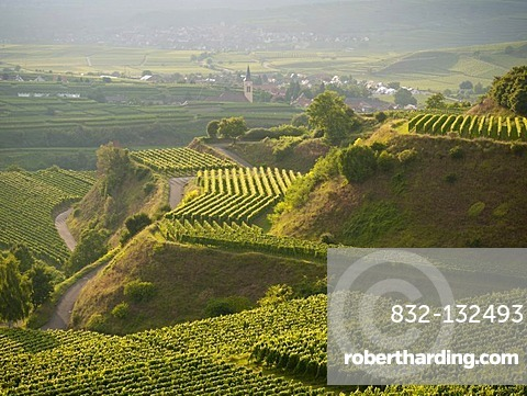 Vineyards of Bickensohl, town of Vogtsburg in the Kaiserstuhl range, village of Oberrotweil at back, Breisgau region, Baden-Wuerttemberg, Southern Germany, Germany, Europe