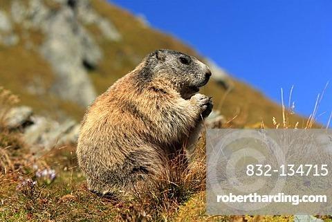 Alpine Marmot (Marmota marmota), adult, Grossglockner Mountain Range, Hohe Tauern National Park, Austria, Alps, Europe