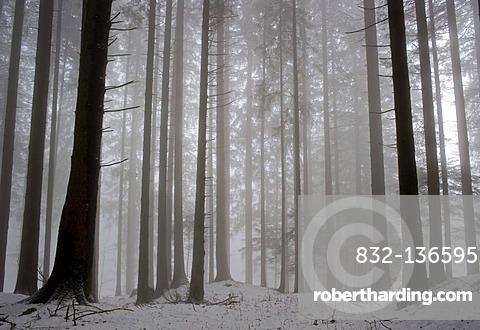 Trees in the fog, Hinterforst, St. Gallen, Switzerland, Europe