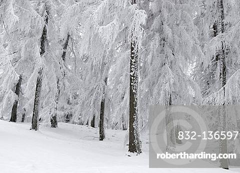 Hoar frost in the forest, Rehetobel, Appenzell, Switzerland, Europe