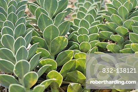 Myrtle Spurge, Creeping Spurge or Donkey Tail (Euphorbia myrsinites), Cres island, Croatia, Europe