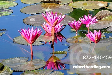 Water Lilies (Nymphaea), Germany, Europe