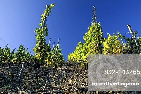 Vineyards in the romantic Middle Rhine Valley, UNESCO World Heritage Site, Rhineland-Palatinate, Germany, Europe