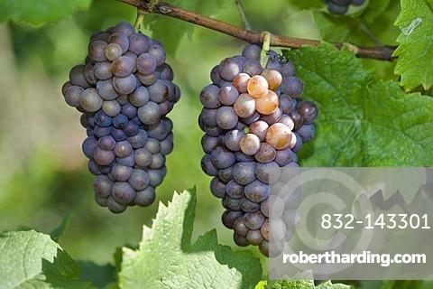 Pinot gris, gray burgundy, grapes