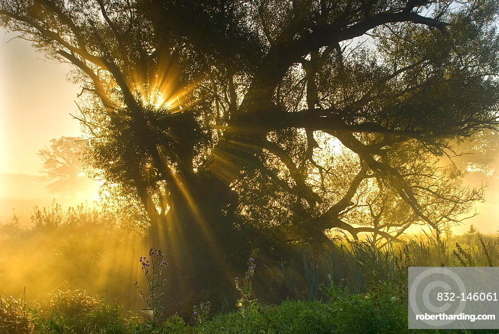 Morning fog at sunrise on the Elbe Meadows near Dessau, Middle Elbe Biosphere Reserve, Saxony Anhalt, Germany, Europe