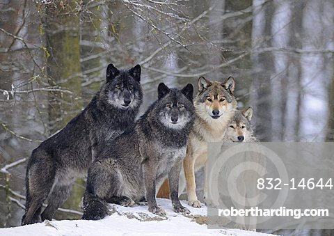 Mackenzie Wolf, Alaskan Tundra Wolf or Canadian Timber Wolf (Canis lupus occidentalis), wolves in the snow