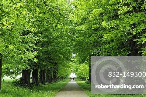 Linden Avenue, Large-leaved Linden (Tilia platyphyllos), view from Gross Schwansee Castle, Am Park 1, Mecklenburg-Western Pomerania, Germany, Europe
