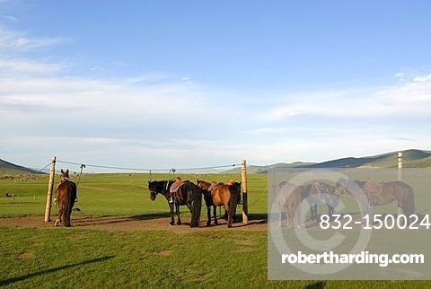 Mongolian horses standing tied up in the grasslands, Orkhon Khuerkhree, Kharkhorin, Oevoerkhangai Aimak, Mongolia, Asia