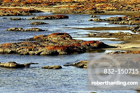 Stromatolites, Earth's oldest fossils, Hamelinbay, Northwest Australia