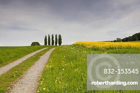 Trees and gravel path with canola field in spring, Ermatingen on Lake Constance, Canton Thurgau, Switzerland, Europa