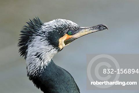 Cormorant (Phalacrocorax carbo), portrait