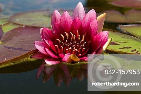 Pond with water lily (Nymphaea), Westfalenpark, Dortmund, Ruhrgebiet region, North Rhine-Westphalia, Germany, Europe