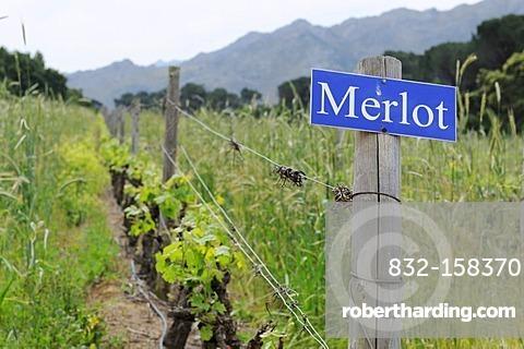 Merlot grapevines, Rickety Bridge, Franschhoek, Western Cape Province, South Africa, Africa