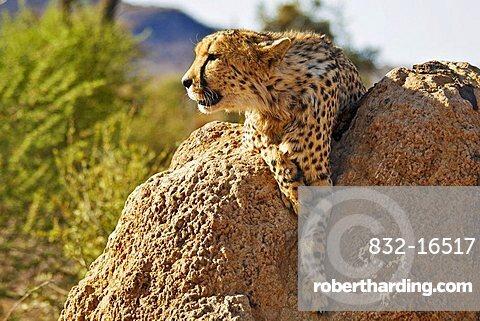 A Cheetah (Acinonyx jubatus) on a termite mound in the sun, Africat Foundation, Namibia, Africa