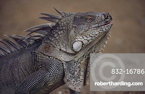 Green Iguana, Costa Rica, Central America