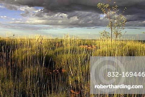 Spinifex Grass landscape, East Kimberley, Northwest Australia