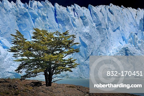 Southern Beech (Nothofagus) in front of the Perito Moreno Glacier, Patagonia, Argentina, South America