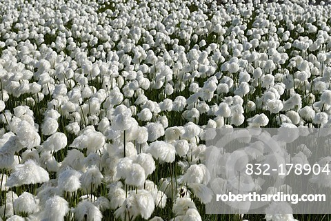 Field of Cottongrass (Eriophorum), Torngat Mountains National Park, Newfoundland and Labrador, Canada, Arctic