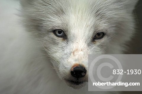 Arctic Fox (Alopex lagopus) portrait, northern Norway, Scandinavia, Europe
