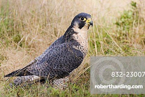 Peregrine Falcon (Falco peregrinus) sitting in the tall grass, Vulkaneifel, Rhineland-Palatinate, Germany, Europe