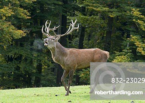Red Deer (Cervus elaphus) during the rutting season, Daun wildlife park, Vulkaneifel area, Rhineland Palatinate, Germany, Europe
