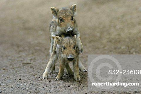 Two Wild Boar (Sus scrofa) shoats playing, Daun Zoo, Vulkaneifel, Germany, Europe